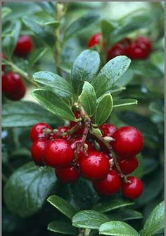 Cowberries is a short evergreen shrub that bear edible sour, slightly sweet, bitter fruits native to boreal forest and Arctic tundra