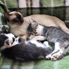 Pedimos a todos muita paciência, porque o processo pra acordar e levantar no meio de tanto amor assim é beeem difícil.  #nãotafaceo  #preguicadelevantar --------------------------------------------------- www.catland.org.br www.catlandlojinha.com.br  catlandrescue@gmail.com --------------------------------------------------- #catland #gocatland #catlandrescue #instacats #catlovers #catsofinstagram #catoftheday #ilovecats #adote #adotenãocompre