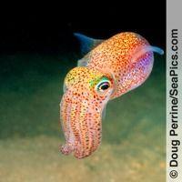 New Species Of Teeny Bobtail Squid Discovered In Okinawa Underwater Creatures, Underwater Life, Ocean Creatures, Beautiful Sea Creatures, Rare Animals, Exotic Fish, Sea And Ocean, Sea World, Ocean Life