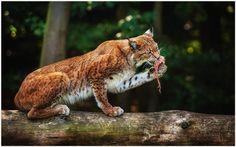 Lynx Animal Wallpaper   lynx animal wallpaper 1080p, lynx animal wallpaper desktop, lynx animal wallpaper hd, lynx animal wallpaper iphone