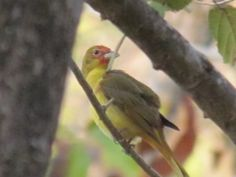 Likely a juvenile male Summer Tanager, starting to show his scarlet spots in Pueblo Verde.