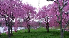 Pink Cherry Blossoms along the Schuylkill
