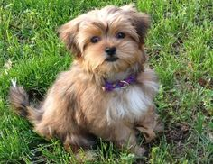 Shorkie Haircuts Pictures Only | Via Tina Roberts Wibberg
