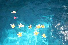 Frangipanis floating in the pool  Maria  Karki photo 2011