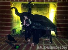Echo as Maleficent, Mistress of All Evil 2014 boston terrier
