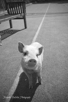 i want a pet pig. until it gets fat and ugly.