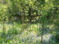 Milk and Honey Herbs - Elder (Sambucus canadensis)- Blue Violet (Viola odorata) Polyculture Milk And Honey, Herbs, Plants, Blog, Scenery, Spring, World, Herb, Blogging