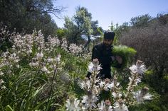 The rich exist for the sake of the poor. The poor exist for the salvation of the rich. St. Gennadius of Constantinople, St. John Chrysostom [photo: a Vatopaidi monk in a clearing in the Athonite forests, harvesting dill amongst the wild flowers.]
