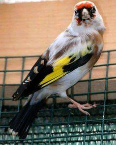 Le super Chardonneret panaché woooow   Le Chardonneret Toujours Le Meilleur  https://www.facebook.com/ChardonneretGolden/  https://plus.google.com/+ChardonneretGolden  https://www.instagram.com/chardonneretgolden/  http://www.youtube.com/ChardonneretGolden  http://www.twitter.com/ChardonneretGol  http://chardonneretgolden.tumblr.com/  https://www.pinterest.com/chardonneretGol/  http://chardonneretgolden.skyrock.com/  https://chardonneretgolden.blogspot.com/  http://chadonneret.e-monsite.co