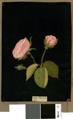 British Museum collection online. Rosa Gallica (Icosandria Polygynia), from an album (Vol.VIII, 39); Moss Provence rose. 1775 Collage of coloured papers, with bodycolour and watercolour, on black ink background.