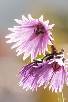 Soldanella alpina | Flickr - Photo Sharing!