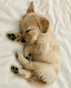 tiny sleeping Golden Retriever puppy & cute animal pictures 10 Adorable Puppies Playing In. The post 10 Adorable Puppies Playing In Their First Snow [PICTURES] & Dogtime appeared first on Travers Rottweilers. Cute Little Animals, Cute Funny Animals, Cutest Animals, Funny Dogs, Cute Dogs And Puppies, Adorable Puppies, Doggies, Small Puppies, Lab Puppies
