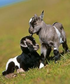 Goats as House Pets | kid Goats | A house is not a home without a pet