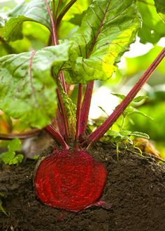 Growing Beets how-to. It's super easy! #growfood #ediblegarden