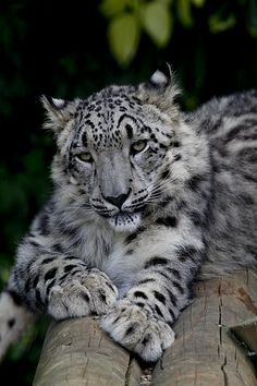 Snow Leopard by wwmike