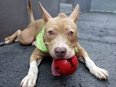 SAFE --- Manhattan Center    VERONICA - A1005719    FEMALE, CREAM / WHITE, PIT BULL MIX, 3 yrs  STRAY - STRAY WAIT, NO HOLD  Reason STRAY   Intake condition NONE Intake Date 07/05/2014, From NY 10456, DueOut Date 07/08/2014,   https://www.facebook.com/photo.php?fbid=834601799886034&set=a.617938651552351.1073741868.152876678058553&type=3&permPage=1