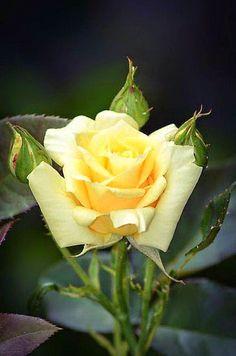 Brotes de Amor: Significado de las rosas amarillas...