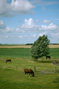 Field with horses near Stavenisse.