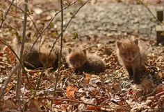 New Jersey Man and His Daughter Capture Adorable Photos of a Troop of Baby Foxes They Found http://laughingsquid.com/new-jersey-man-and-his-daughter-capture-adorable-photos-of-a-troop-of-baby-foxes-that-they-found-in-their-backyard/