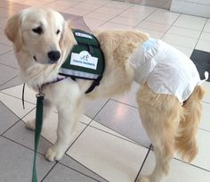 Help Us Get Out of Diapers. Life Changing Surgery for two Service Dogs | Indiegogo