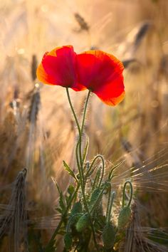 Two Poppies от LandscapeViewer на Etsy