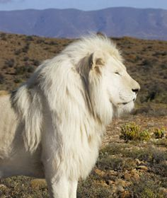 Beautiful white lion! They are endangered and very few left, unfortunately.