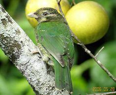 Green Catbird Daintree   Flickr - Photo Sharing!