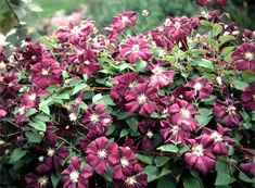 Clematis 'Etoile Violette'  Deep royal purple flowers are produced in profusion in midsummer on this medium sized vine. Each flower is about 3 inches across and can cover the vine in full flower. After the first flowering a light shearing will encourage a rebloom later in the season. 'Etoile Violette' has a slightly more open growth habit making it a good choice for growing in large shrubs and small trees.