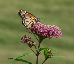 Asclepias incarnata, a. Milkweed is the ONLY plant monarch caterpillars can eat. Swamp milkweed is a taller milkweed and blossoms in purplish/pinkish flowers in the summer. Very little watering required. Swamp Milkweed, Milkweed Plant, Monarch Caterpillar, Hollyhock, Plant Species, Monarch Butterfly, Butterfly Food, Native Plants, Garden Plants