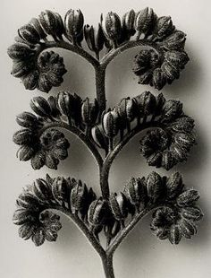A sculptor & art teacher by profession, Karl Blossfeldt is best known for his beautiful photographs of plants forms. Karl Blossfeldt, White Photography, Fine Art Photography, Nature Photography, Photography Flowers, Botanical Art, Botanical Illustration, Seed Pods, Patterns In Nature
