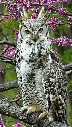 Great Horned Owl (Bubo virginianus) in spring. second largest owl in the Americas. First place goes to the Snowy owl. Beautiful Owl, Animals Beautiful, Cute Animals, Owl Photos, Owl Pictures, Exotic Birds, Colorful Birds, Funny Owls, Funny Art