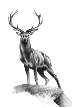 All Muscle - Red Deer Stag Art Print by Patricia Howitt - X-Small Stag Tattoo Design, Deer Tattoo, Fox Tattoos, Deer Design, Tree Tattoos, Raven Tattoo, Tattoo Ink, Arm Tattoo, Hand Tattoos