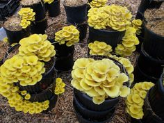 The plastic nursery pots commonly used for landscaping are great for cultivating many mushroom species--and they can be washed and reused. Shown here are golden oyster mushrooms fruiting from stacked pots. Learn about other growing methods from Tradd Cotter's new book, Organic Mushroom Farming and Mycoremediation (Chelsea Green, 2014)