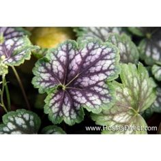 Coral Bell (Heuchera) 'Marvelous Marble' - Marbled leaves that change color throughout the season! Buy Plants, Fall Plants, Foliage Plants, Shade Plants, Shade Perennials, Coral Bells Heuchera, Shade Garden, Purple Garden, Colorful Garden