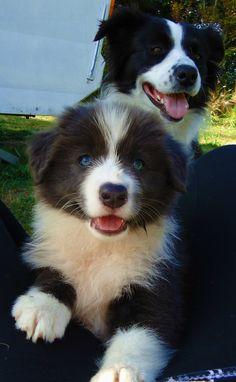 Blue Border Collie Puppy - Carla