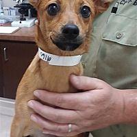 Birmingham Alabama Chihuahua Meet Penelope A For Adoption