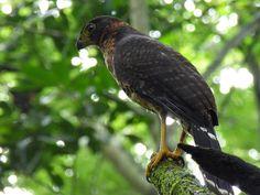Micrastur-semitorquatus-Halcón-Collarejo-Collared-Forest-Falcon-02-Tb.jpg (1024×768)
