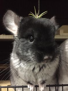 Everyone deserves a succulent on their head! #aww #cute #chinchilla #chinnies #chinchillasofpinterest #cuddle #fluffy #animals #pets #bestfriend #boopthesnoot #itssofluffy #rodents