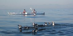 Simonstown Sea Kayak Tours ::- see Penguins and Whales paddling in False Bay, Cape Town Activities In Cape Town, African Penguin, Boulder Beach, Western Coast, Kayak Tours, Where To Go, Outdoor Activities, Kayaking, Penguins