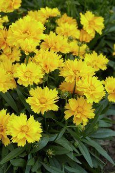 Sieh ihr direkt ins gelbe Blütenauge – und schon hast du dich in diese Schnittblume verliebt