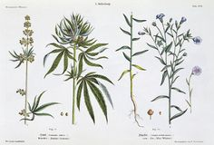 marijuana botany - Google Search