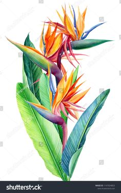bouquet tropical bright flowers and leaf strelitzia on white background, watercolor illustration, botanical painting Plant Illustration, Watercolor Illustration, Botanical Illustration, Watercolor Plants, Watercolor Paintings, Tropical Art, Tropical Flowers, Bright Flowers, Drawings Pinterest