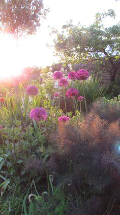 Alliums summer 2014 in my garden