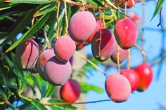 Mango Tree Madness. Key West folks are passionate about their mango trees and covet their fabulous fruit.