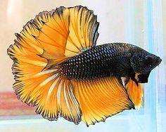 Gold halfmoon betta fish picture