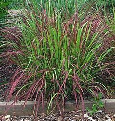 Panicum virgatum 'Shenandoah' Switch Grass -Everyone wants Red Pennisetum to be hardy but sorry folks it just isn't. This gorgeous native is tho and,in my opinion, a more natural looking, better choice for gardens and containers.