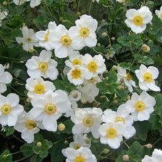 Anemone 'Honorine Jobert' is perennial and great late season color. Hundreds of pure white flowers with bright yellow centers adorn the graceful stems from late summer until a hard frost. 2-3' tall, part sun