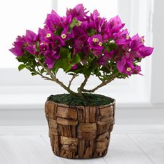 The FTD® Flowering Fuchsia Bougainvillea Plant by Better Homes and Gardens®- 4.5-inch  http://www.wardsflorist.com/product/the-ftd-flowering-fuchsia-bougainvillea-plant-by-better-homes-and-gardens-4-5-inch/display
