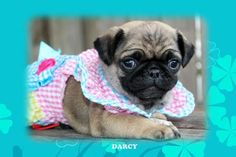 """Fairytailpuppies """"where pets are family too - DARCY"""