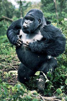 Bad-ass Gorilla